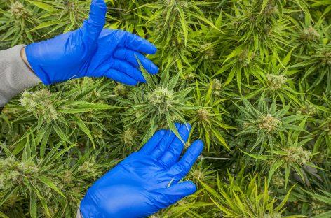 Marea Britanie este tot mai aproape de legalizarea canabisului în scop medical, după un raport oficial favorabil