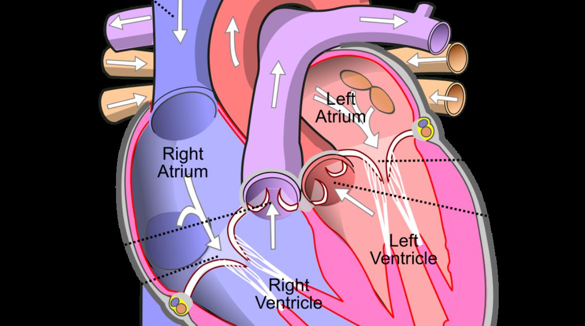 Bolile cardiace pot accelera declinul cognitiv, arată concluziile unui studiu internațional