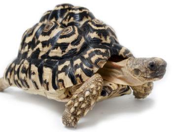 Un dispozitiv dezvoltat în SUA și inspirat de broasca țestoasă poate livra insulină în stomac