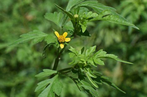INTERVIU Dr. Brîndușa Petruțescu, medic specialist alergologie: În cazul unei toamne prelungite, polenul de ambrozie poate fi prezent în aer până în luna noiembrie