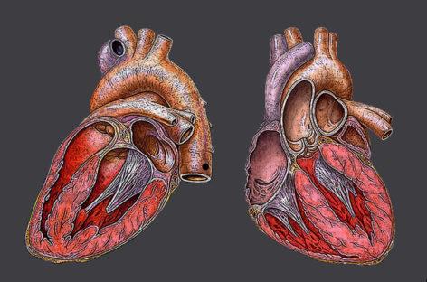 Complicațiile cardiace ale gripei, identificate într-un studiu pe animale realizat în SUA