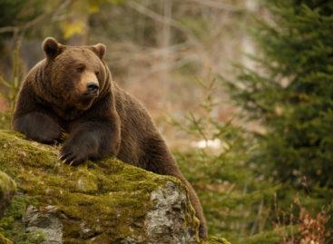 Un director de spital din Braşov cere Ministerului Sănătății să includă tratamentul pacienților atacați de urși într-un program național, din cauza costurile foarte mari