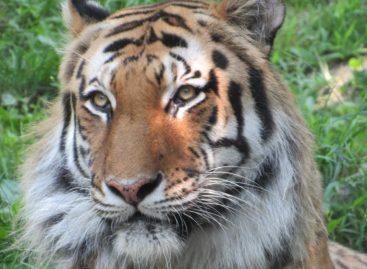 Un tigru de la o grădină zoologică din New York, testat pozitiv cu coronavirus